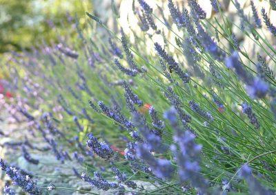 800x600_lavender